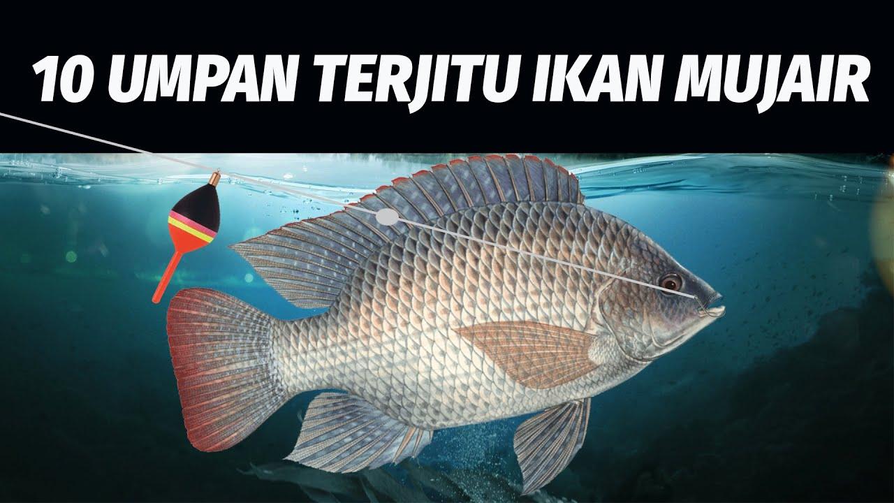 Download Ternyata Ini! 10 Umpan Terjitu Mancing Ikan Mujair - Nila! Tilapia Fish Bait #KamusMancing
