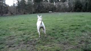 Exercising Logan, English Bull Terrier