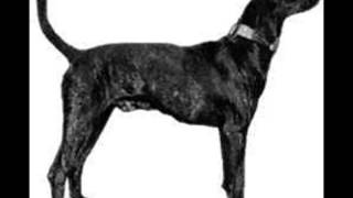Plott Hound ~ Puppies for Sale, by Pets4You.com