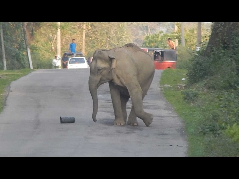 Young Elephant Blocks Road Playing Football