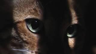 Бенгальская кошка Буся