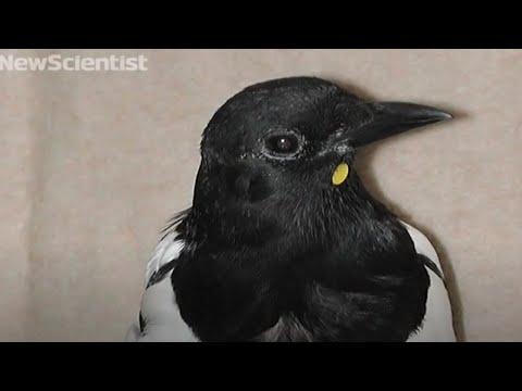 Mirror test shows magpies aren't so bird-brained