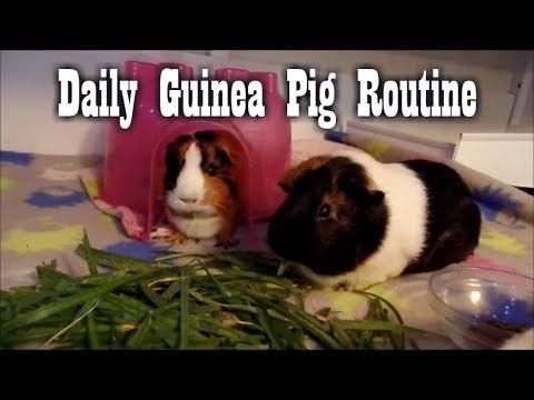 Guinea Pig Daily Routine   November 2017