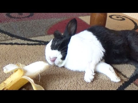 Sleeping rabbit wakes up at the sound of a banana