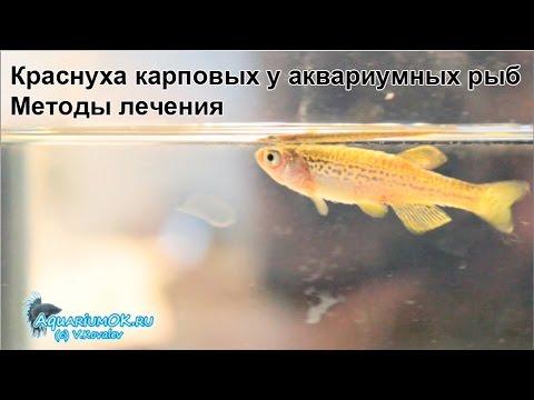 Бактериальная септицемия у данио. Болезни аквариумных рыбок: бактериальные инфекции.
