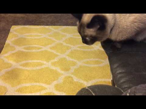 My Siamese Cat Max Tries to Catch a Gnat!