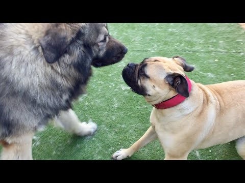 Caucasian Shepherd VS Bullmastiff