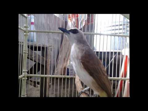 Kicau Burung Trucukan Ropel Download   www bursaburung web id