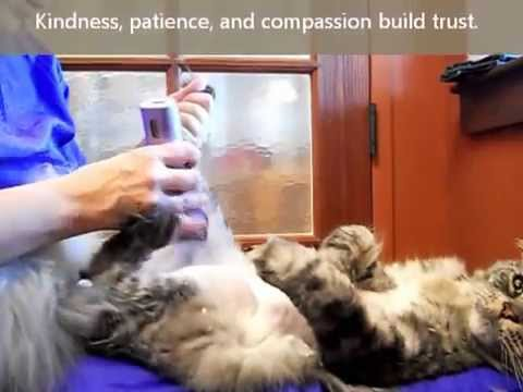 How To Shave a Cat's Tummy, with Aunt Stacey featuring Jai the Maine Coon