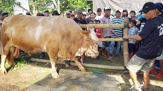 Download Sapi Damar Wulan berat 1 ton 128 Kg di Kontes Sapi Jember
