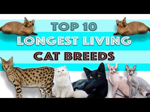 TOP 10 LONGEST LIVING CAT BREEDS