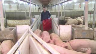 La manipulation des porcs avant le chargement