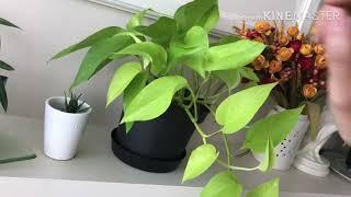 #8-1. 호야와 관엽식물 2부 / 머니 트리/ 스파이…