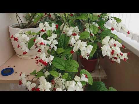 Секреты цветения клеродентрума.