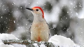 "Peaceful Relaxing Instrumental Music, Nature Meditation Music ""Winter Song Birds"" by Tim Janis"