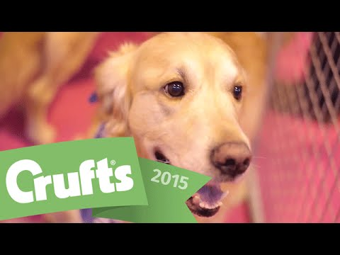 Best of Breed - Golden Retriever and winner's interview | Crufts 2015