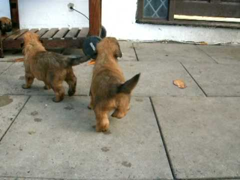 nina's 4 week old briard pups