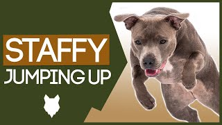 STAFFORDSHIRE BULL TERRIER TRAINING! How To Stop Your Staffy From Jumping Up!