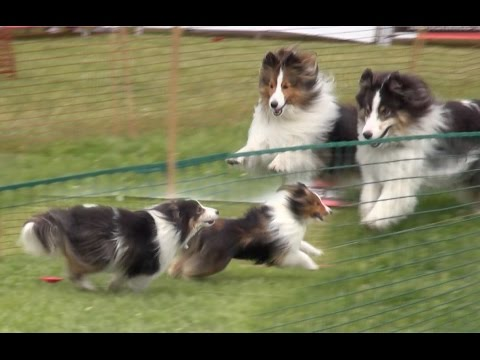 Dog Lure Agility Course by the Shelties!