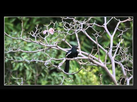 Noisiest Bird In Thailand!?