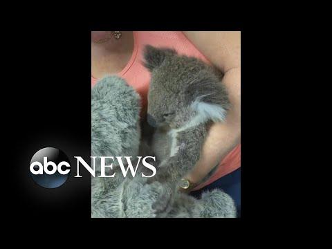 Heartwarming video of koala, stuffed animal   WNT