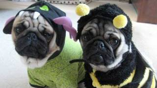 Minnie & Max Pug Pictures 2009