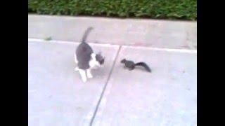 Белка пристаёт к коту