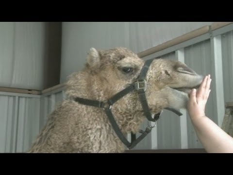 Local vet treats injured camel
