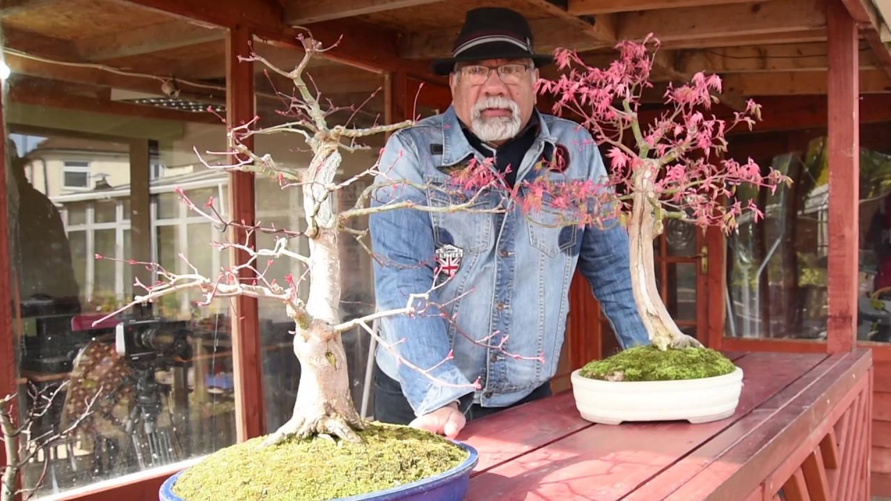 Japanese maple bonsai deadwood carving ma ke
