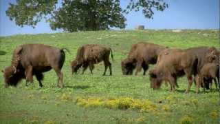 Arkansas Buffalo Ranching - America's Heartland