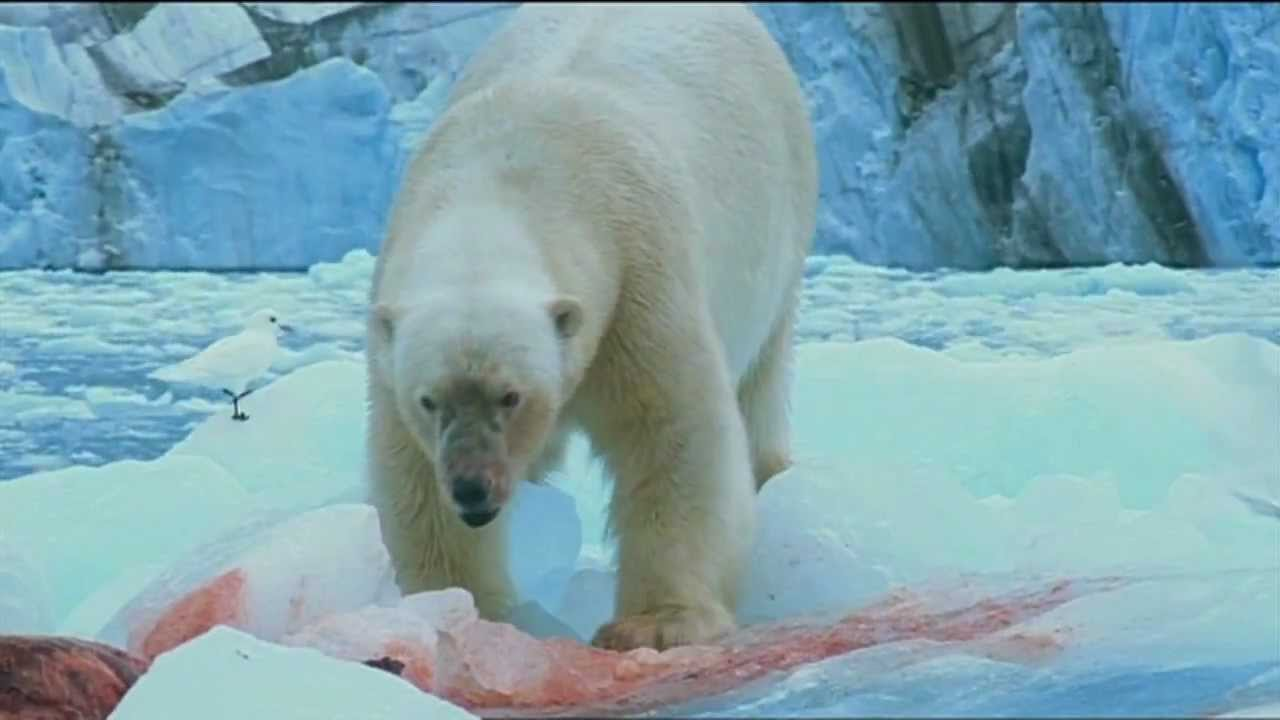 polar bears have seal for lunch polar bears have seal for lunch