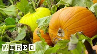 Picking Pumpkins, The Pumpkin Harvest Process | WIRED