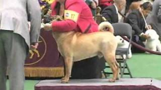 135th Westminster Kennel Club Dog Show - Shar-pei Judging