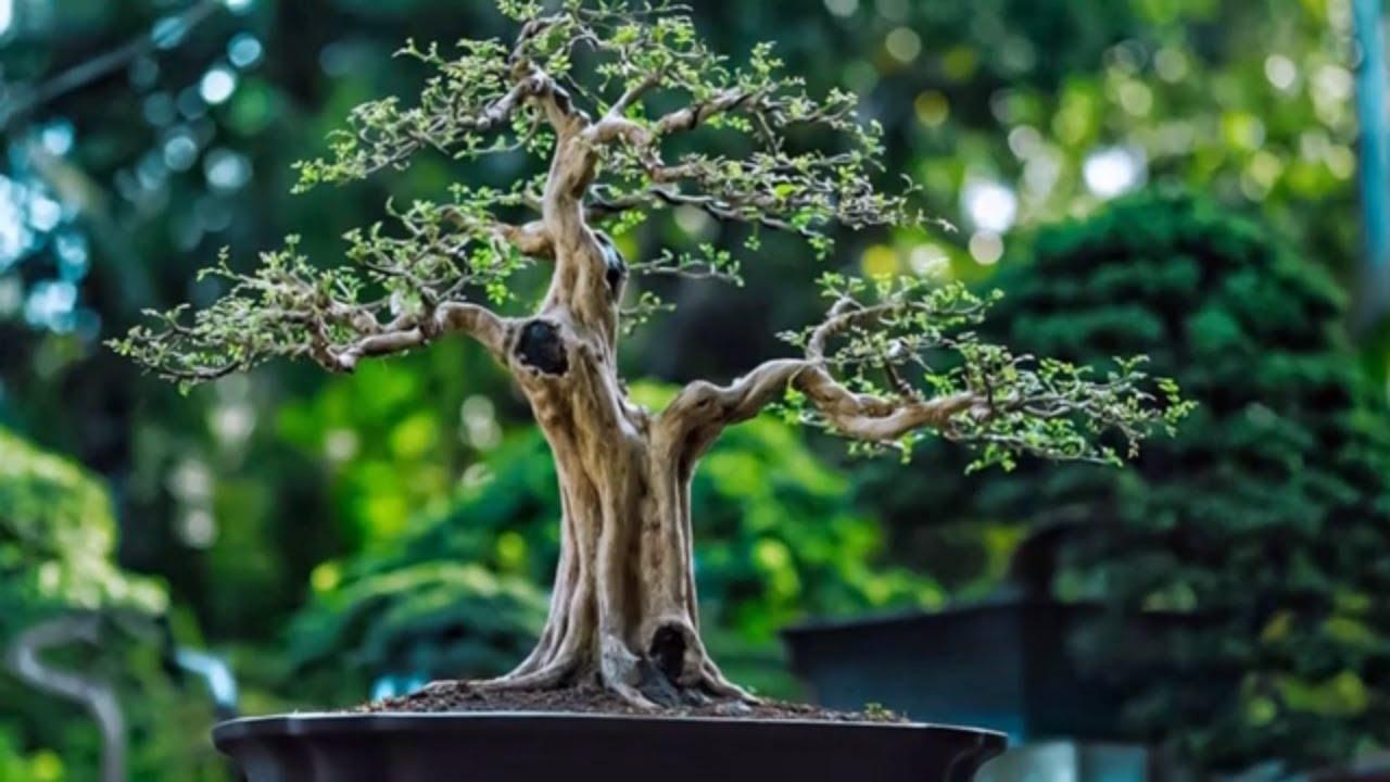Beautiful bonsai works in Vietnam #1 - Tác phẩm bonsai đẹp Việt Nam