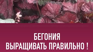 Бегония - выращивание, уход, полив, болезни, обработка, размножение, черенкование, вредители