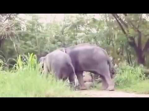 Pion Anemals elephant sex