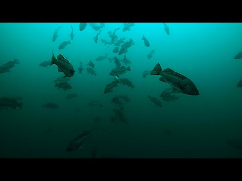 Awesome Underwater School of Rockfish - A Look Under the Surface
