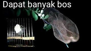 Download Video Menangkap burung di malam hari dapat banyak MP3 3GP MP4