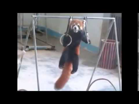 Adorable Red Panda Funny Supercut Compilation 2014 Youtube