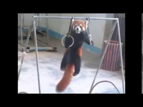 Adorable Red Panda Funny Supercut Compilation 2014