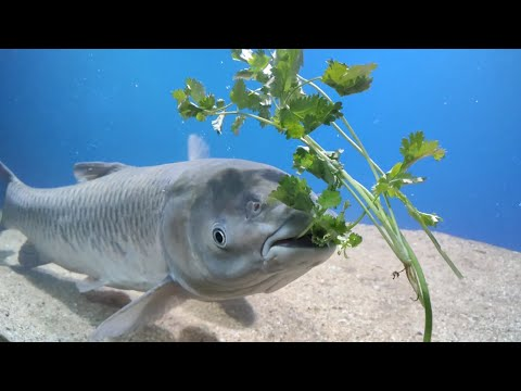 Grass Carp Feeding With Coriander Leaves And Koi E-lite Fish Feed
