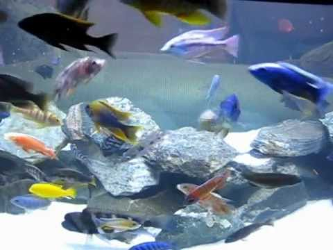 150 Gallon African Cichlid all Male Tank