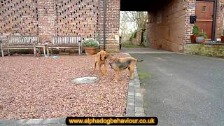 Wire Haired Vizsla Puppy And Border Terrier Play.