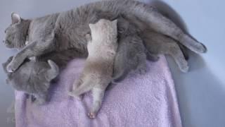 Cute Kittens Fighting Over Their Mom's Milk - 4K footage