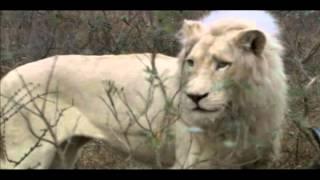 Возвращение белого льва (Return of the white lion)