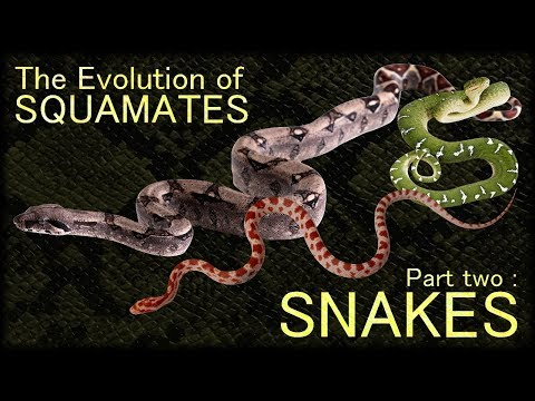 Evolution Of Squamates II : Snakes 🐍