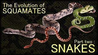 Evolution of Squamates II : Snakes 🐍