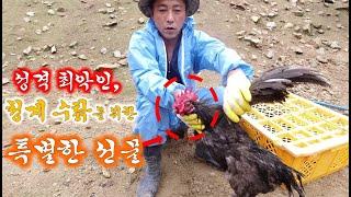 닭들 중에 성격 제일 안좋은, 성격 최악인 청계 수탉을 위한 특별한 선물//A special gift for a rooster with the worst personality