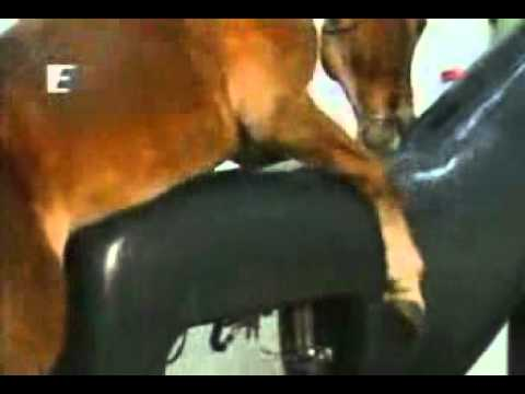 اخذ اللقاح (حيوان المنوي)  من الحصان