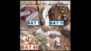 사과씨로 사과나무 키우기 만들기/DIY / 텃밭 꾸미기